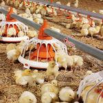 家禽喂食盘 / 塑料 / 多入口 / 地面固定式