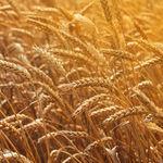 中等硬粒小麦种子 / 春季 / 抗锈病 / 平均株高